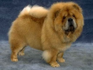Chow Chow - cna be dangerous dogs