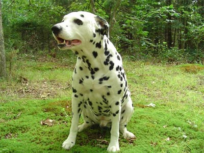 Dalmation1 300x225 Most Dangerous Dogs or Well Trained Family Friend