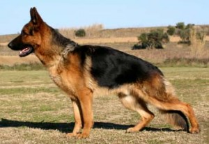 German Shepherd - interlligent and dangerous dog