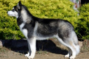 Husky 300x200 <center>Most Dangerous Dogs or Well Trained Family Friend. Which One Is Yours?</center>