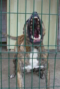 Presa Canario - vicious and dangerous dogs