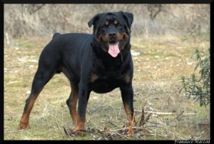 Rottweiler - dangerous dogs photo